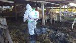 วัวควายติดเชื้อกว่า 100 ตัว! บุรีรัมย์จ่อประกาศเขตโรคระบาดปากเท้าเปื่อย