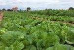 สุรินทร์เจ๋ง! ปลูกผักแปลงปลอดสารพิษ เปิดแหล่งท่องเที่ยวเชิงเกษตรรับลมหนาว