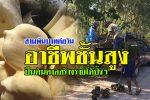 สุรินทร์-ไปดูกัน!! หนุ่มเมืองช้าง วัย 37 ปี ปีนต้นตาล เฉาะตาลสดขั้นเทพ รายได้งามกว่าวันละ 3,000 บาท (ชมคลิป)