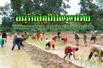 สุรินทร์ – อนุรักษ์ภูมิปัญญาไทย.!! วิถีชีวิตบรรพบุรุษ การทำนาด้วยวิธีภูมิปัญญาไทยแบบดังเดิม