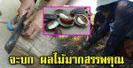 สุรินทร์-ชาวนาอีสานแห่เก็บเมล็ด กระบก ผลไม้มากสรรพคุณ สร้างรายได้งามยามหน้าแล้ง(คลิป)